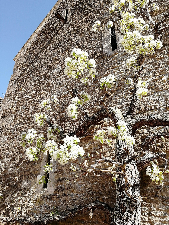 gardens, blossoms, pear tree, primroses, bluebells