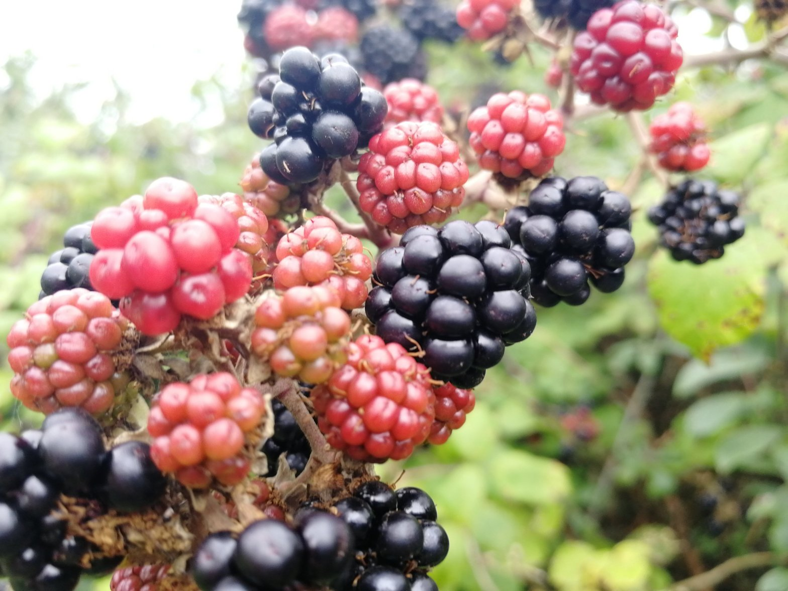 Blackberries, hedgerows, apples, cookery, recipes